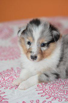 Puppy Shetland Sheepdog, Dog, Bitch, Pup