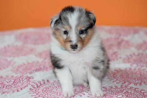 Puppy Shetland Sheepdog, Dog, Puppy Sitting, Bitch, Pup