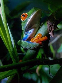 Frog, Costa Rica, Red Eyed Leaf Frog
