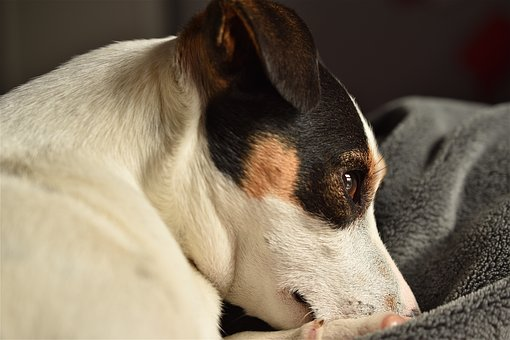 Dog, Jack Russel, Cute, Terrier, Jack, Russel, Head