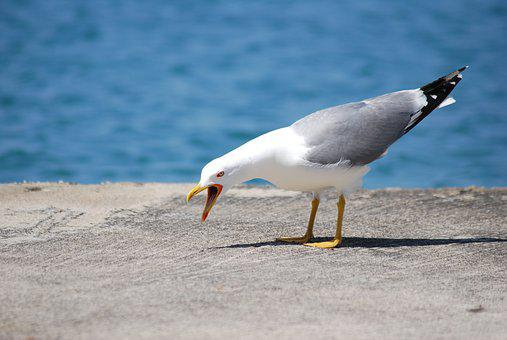Sea, Seagull, Bird, Water, Cry, Protest