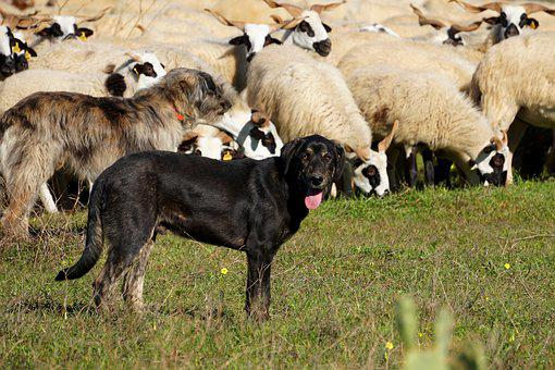 Dog, Sheep Dog, Sheep, Sheep Breeding, Pasture