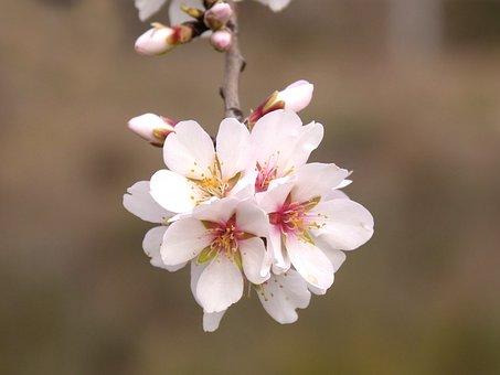 Almond Tree, Flower, Almond Tree In Blossom, Spring