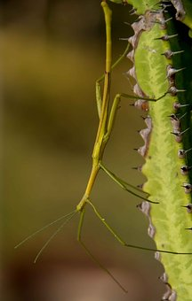 Stick Insect, Green, Wild, Queensland, Australia