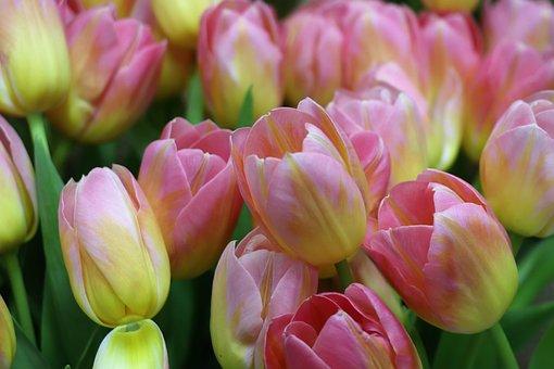 Tulips, Tulip, A Bouquet Of Tulips, Flower, Flowers