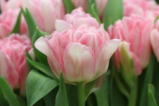 Tulips, Tulip, Pink, Spring, Garden, Flower, Bloom
