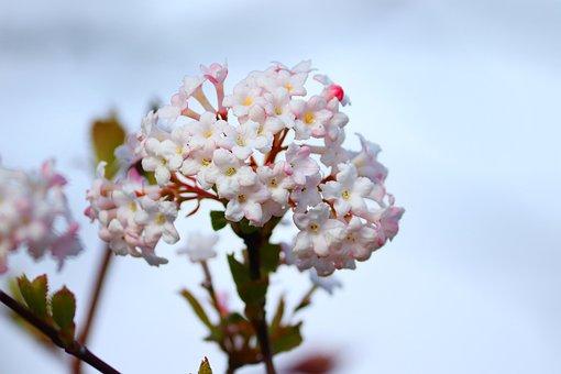 Flowers, Snow Ball, Viburnum, White, Bush, Spring