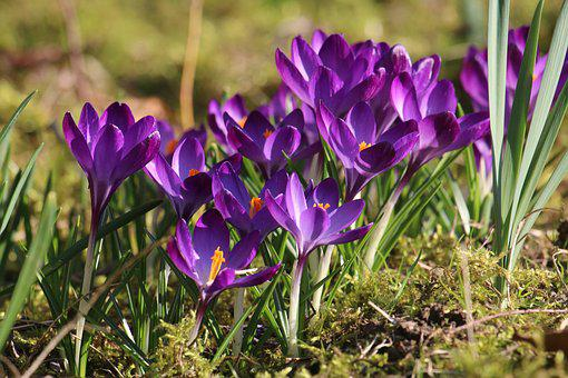Crocus, Flowers, Spring, Purple, Violet, Garden