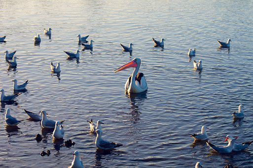 Birds, Water, Waterfowl, Lake, Schwimmvogel, Gulls