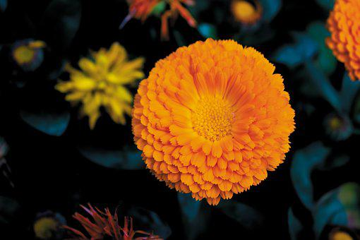 Marigold, Yellow, Flower, Photography, Spring, Nature