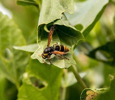 Insect, Wasp, Large Mud-nest Wasp, Abispa Splendida