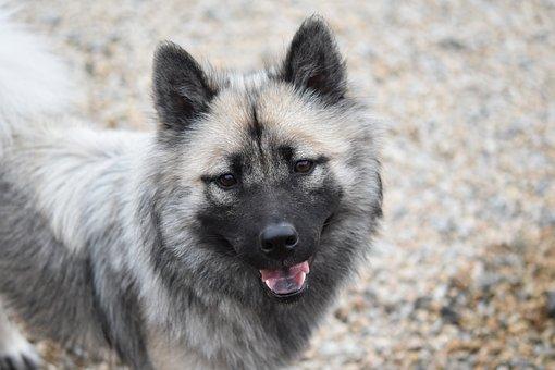 Dog, Dog Eurasier, Bitch Nova, Animal, Doggie, Canine