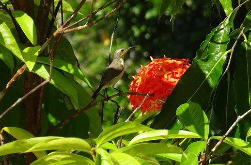 Bird, Olive-backed Sunbird, Cinnyris Jugularis