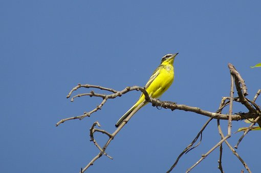 Bird, Western Yellow Wagtail, Motacilla Flava