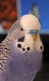 Budgie, Blue, Parakeet, Pet, Bird, Plumage, Feather