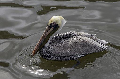 Pelican, Bird, Water, Nature