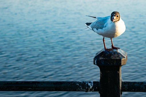 Black Headed Gull, Sea Gull, Bird, Nature, Animal