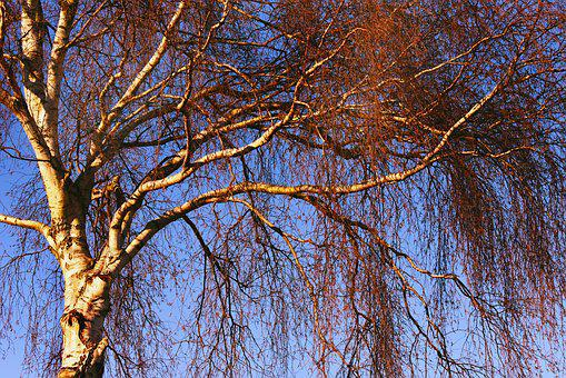 Birch Tree, Trunk, Branch, Bark, Twig, Wood, White