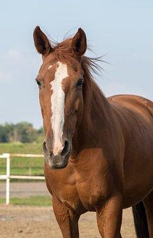 The Horse, Chestnut, Horse, Brown, White Belt