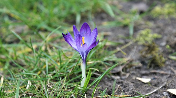Crocus, Only, Bloom, Cold, Lonely, Individually, March
