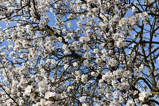 Almond Trees, Almond Tree, Flower, Spring, Almonds