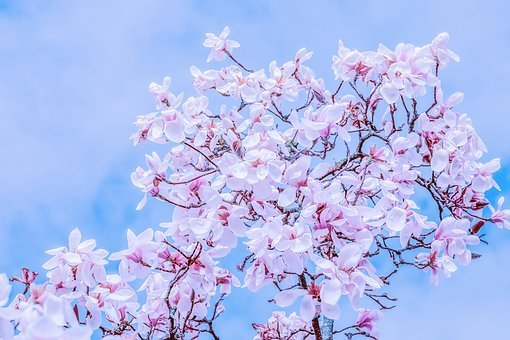 Tulip Magnolia, Tree, Branch, Magnolia Blossom, Flowers