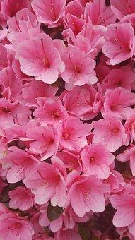Azalea, Pink, Macro, Spring, Flowers, Garden