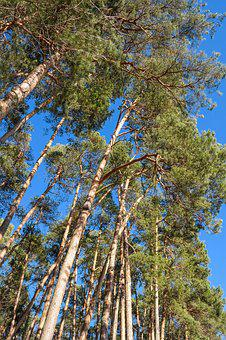 Trees, Pine, Log, Forest, Conifer, Nature, Green