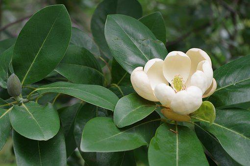 Flower, Camellia, Plant, Bloom, Cream, White, Gardening