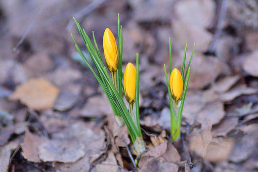 Krokusknoppar, Crocus, Flowers, Perennial, Lökväxt