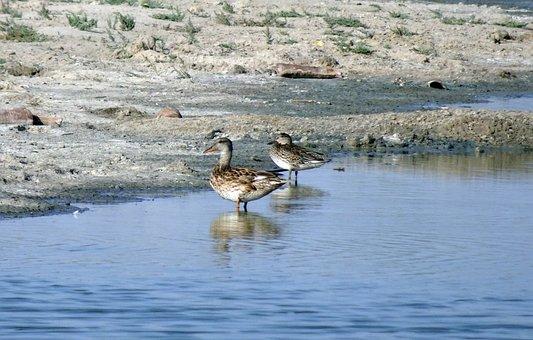Duck, Gadwall, Mareca Strepera, Dabbling, Anatidae
