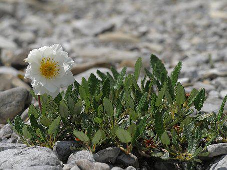 Mountain Avens, White, Flower, Alpine Flower