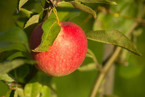 Apple, Village, Tree, Nature, Sadly, Fruit, Garden