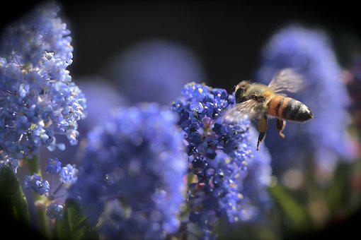 Bees, Spring, Flowers, Pollen, Plant, Blossoms, Nature