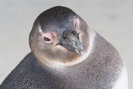 Penguin, South Africa, Beach, Cape Town, Bird, Penguins