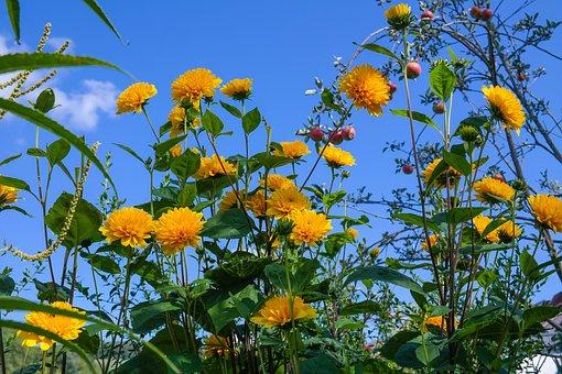 Helianthus, Perennial Sunflower, Blossom, Bloom, Flower