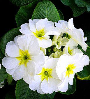 Primroses, White, Blossom, Bloom, Spring, Nature