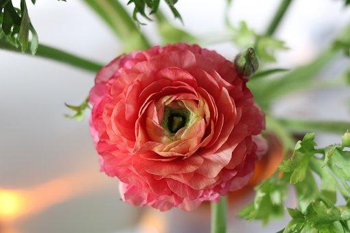 Ranunculus, Blossom, Bloom, Fragrance, Interior, Bokeh
