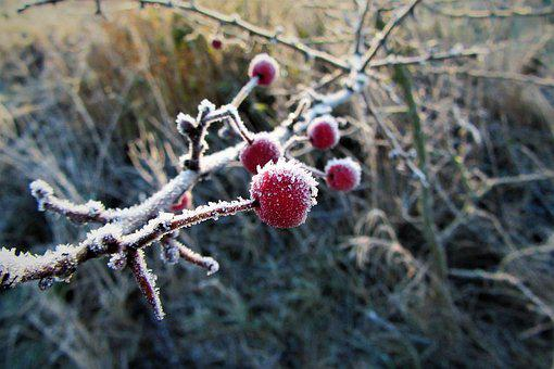 Frozen, Berries, Red, Cold, Ice, Frost, Winter, Icy