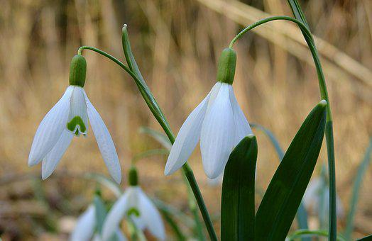 Sector, Snowdrop, Flowers, Early Spring