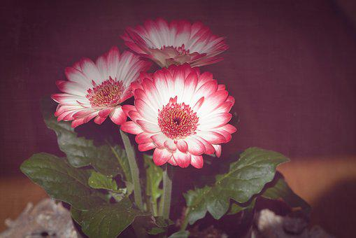 Flowers, Pink White, Spring Flowers, Plant, Three