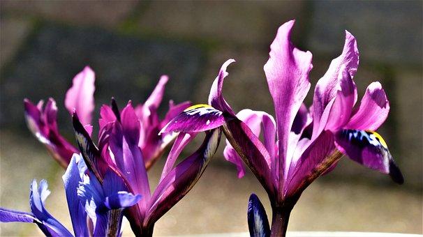 Iris, Lilac, Blue, Spring, Garden, Colors Cheerful