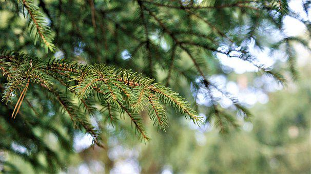 Fir Tree, Nature, Forest, Tree, Landscape, Trees