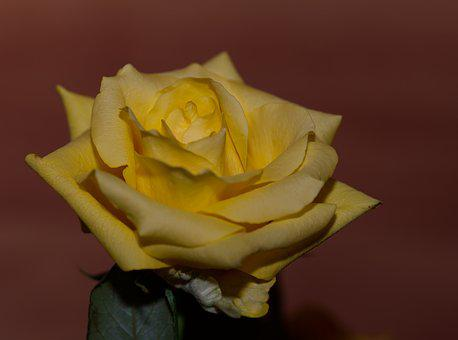 Rose, Yellow, Yellow Rose, Flower, Blossom, Bloom
