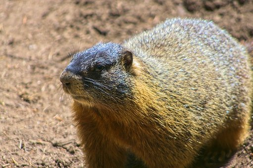Yellow-bellied Marmot, Rock Chuck, Animal