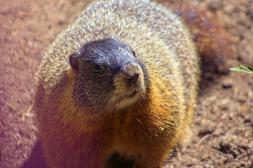 Marmota Flaviventris, Rock Chuck, Yellow-bellied Marmot