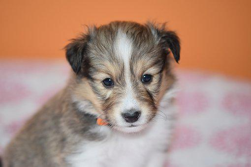 Puppy, Puppy Shetland Sheepdog, Pup, Young Puppy