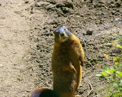 Teton Yellow-bellied Marmot, Rock Chuck, Animal