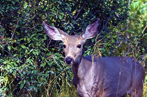 Mule Deer Doe, Animal, Deer, Nature, Mammal, Wildlife