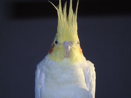 Cockatiel, Parrot, Cockatoo, Bird, Closeup, Animals